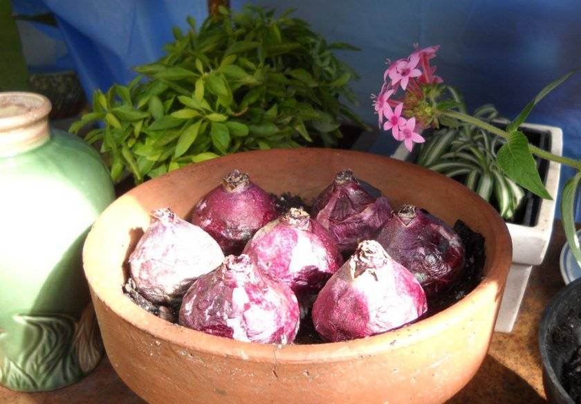 Гиацинт: какой уход нужен после цветения. луковицы гиацинта после цветения – уход и содержание
