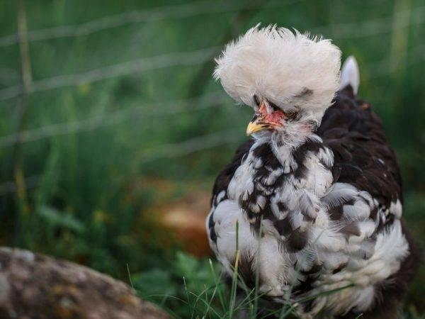 Павловская порода кур фото и описание, чем и как кормить