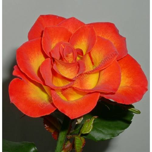 Морщинистая роза (31 фото): описание сортов «альба», «ханса» и «рубра», посадка и уход за розами, размер их кроны
