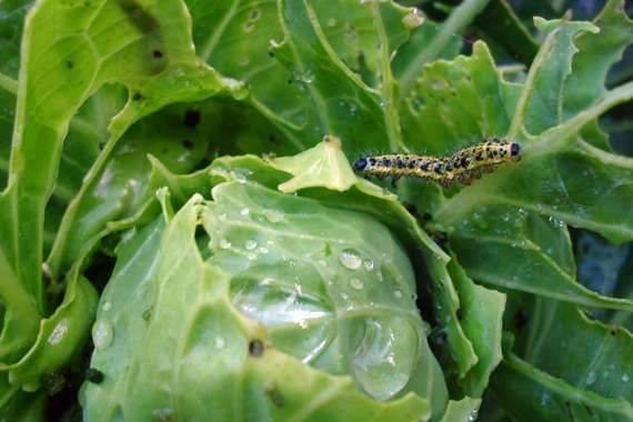 Обработка капусты от гусениц: чем и как правильно обрабатывать от вредителей