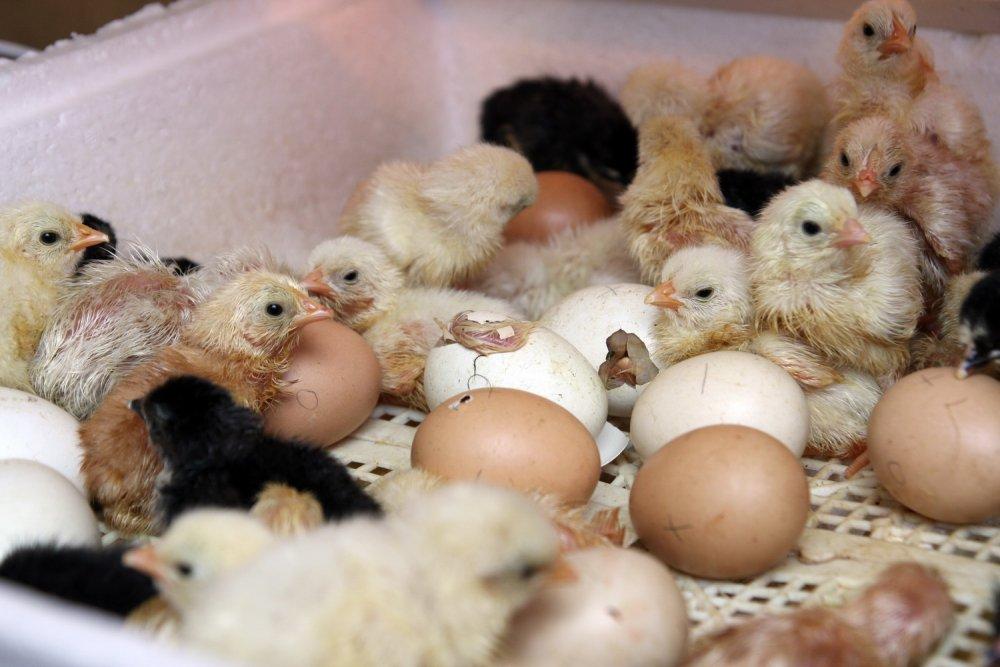 Выращивание цыплят в домашних условиях: уход и кормление для начинающих, здоровые суточные несушки, разведение после инкубатора, птенцы ломан браун