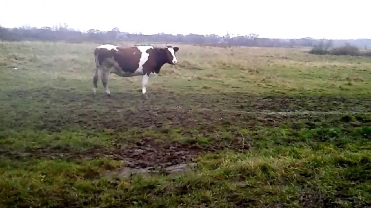 Сколько сена съедает корова в день