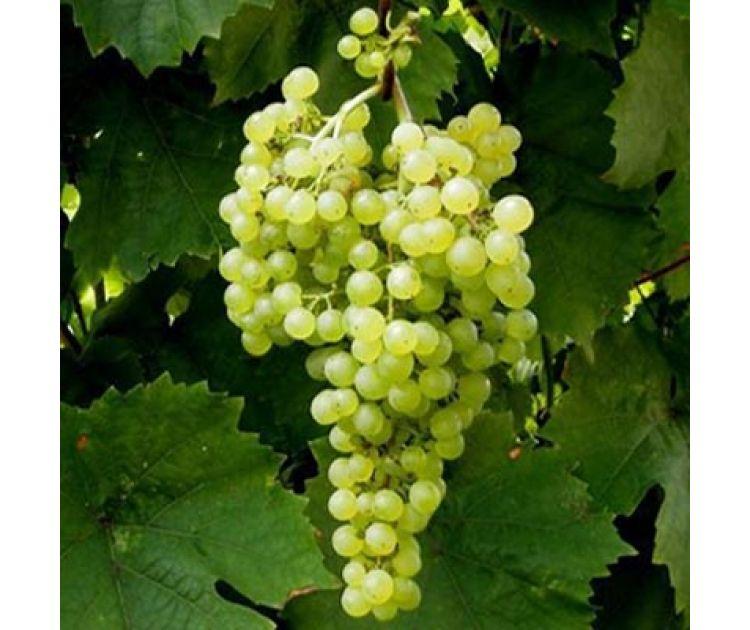Легкий в выращивании и превосходный на вкус — виноград сорта русский ранний