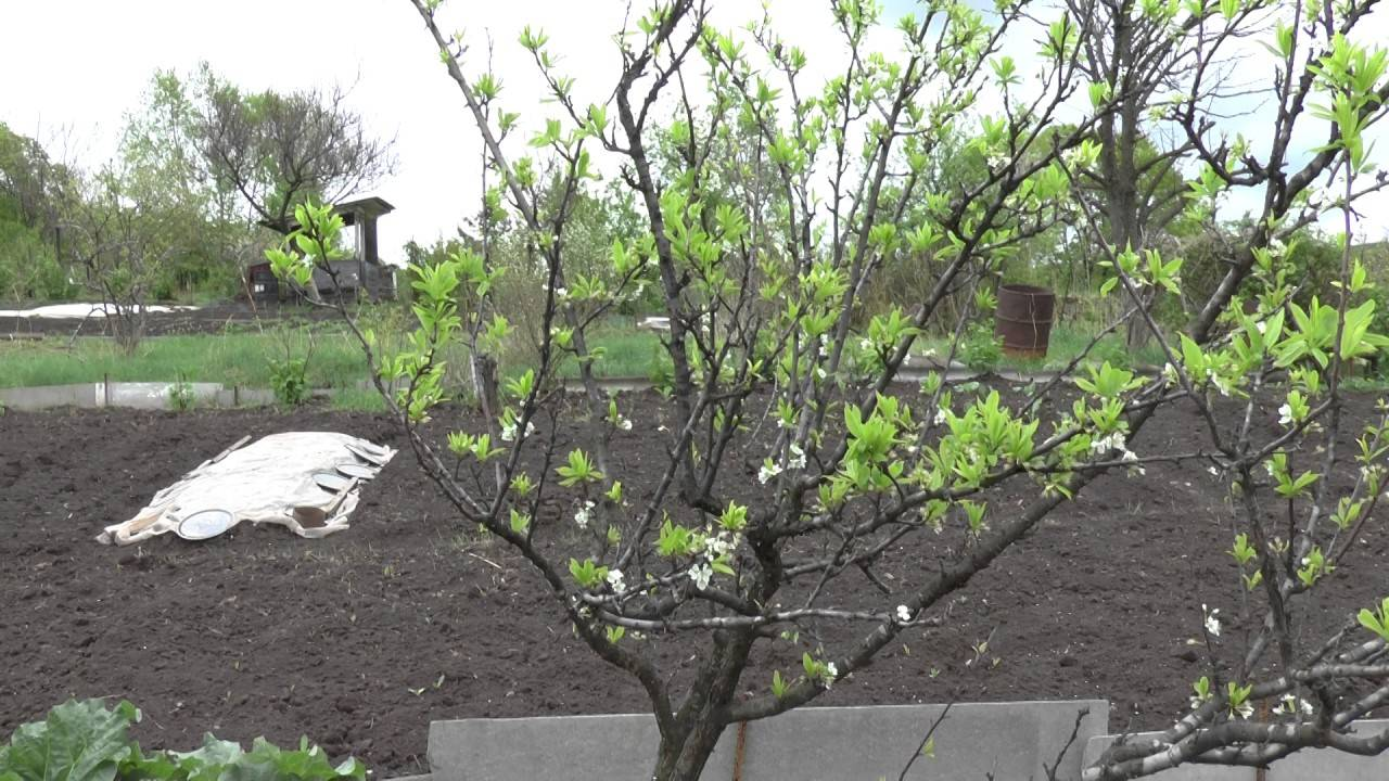 Как размножить сливу черенками и корневой порослью