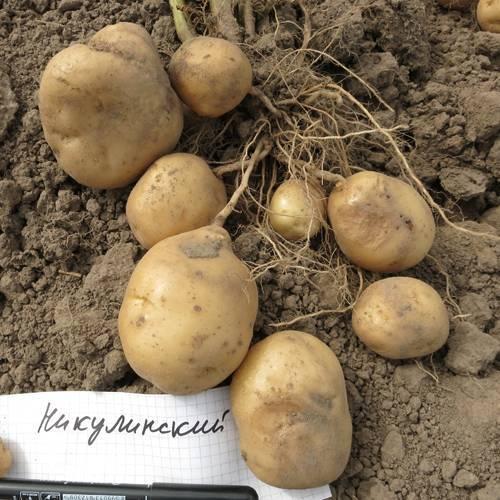 Ещё один сорт из линейки высокоэффективных и урожайных сортов голландской селекции «мелодия»