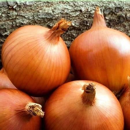 Овощ лук: посадка и уход в открытом грунте, фото, выращивание из семян