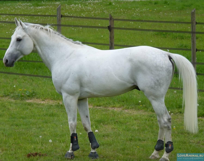 Об арабской лошади: чистокровный скакун арабских кровей, описание, характеристики