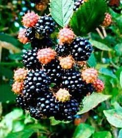 Черная малина — описание сорта, посадка, уход и секреты выращивания. особенности сбора + 115 фото и видео