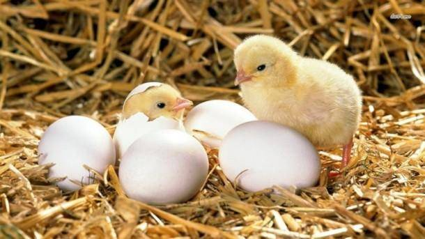 Вывод цыплят наседкой: как подготовить, какие яйца подойдут, контроль развития