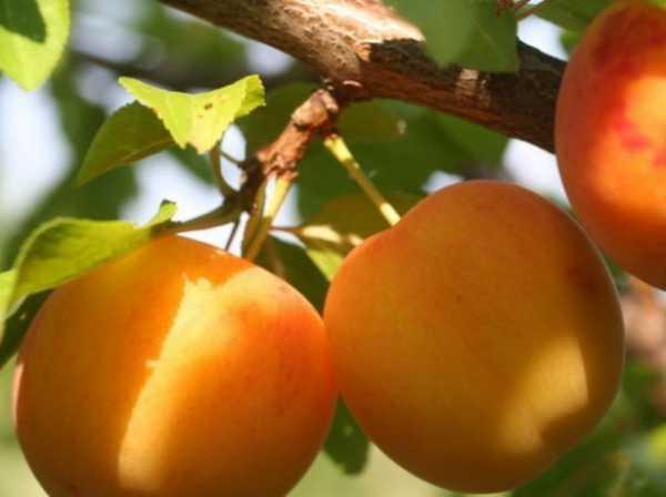 Всё о сортах фиалок злато скифов: выращивание в домашних условиях