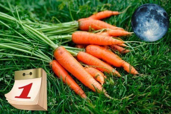 Как высадить морковь семенами?
