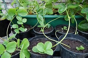Когда лучше пересаживать клубнику: осенью или весной, и в каком месяце