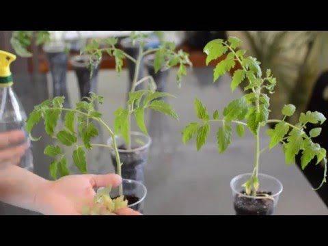 Cтимуляторы роста для рассады томатов и перца
