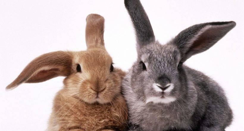 В чём разница между кроликом и зайцем