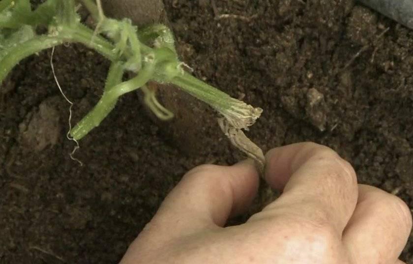 Как подкормить огурцы зеленкой: обработка, удобрение, советы