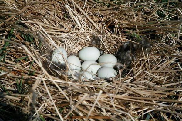 Гуси не несут яйца что делать. когда начинают нестись гуси. когда начинают высиживать