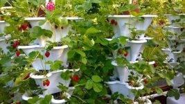 Вьющаяся садовая земляника: описание сортов с фото и отзывами