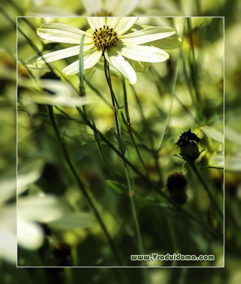 Многолетний цветок кореопсис крупноцветковый и ланцетовидный