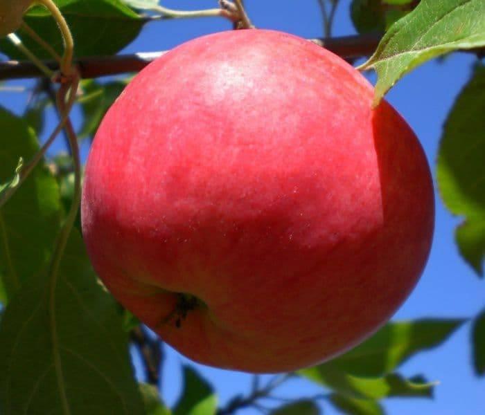 О яблоне Мантет: описание и характеристики сорта, посадка, уход, выращивание