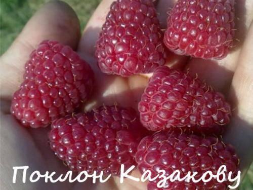 Лучшие сорта малины для выращивания в подмосковье, агротехника посадки и уход