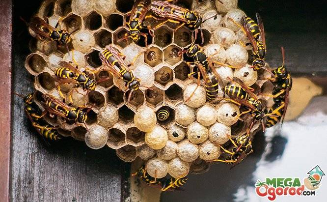 Как навсегда избавиться от ос и осиного гнезда на даче?