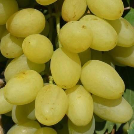 Дикий виноград: характеристика и описание сорта, посадка и уход