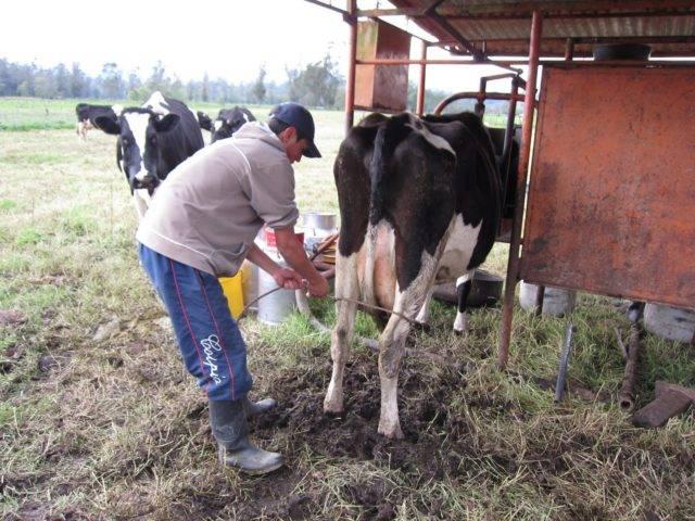 Бодливая корова: как отучить бодаться коров и быков
