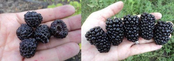 Ежевика и шелковица: описание, чем они похожи и различны, ягоды, похожие на ежевику и шелковицу