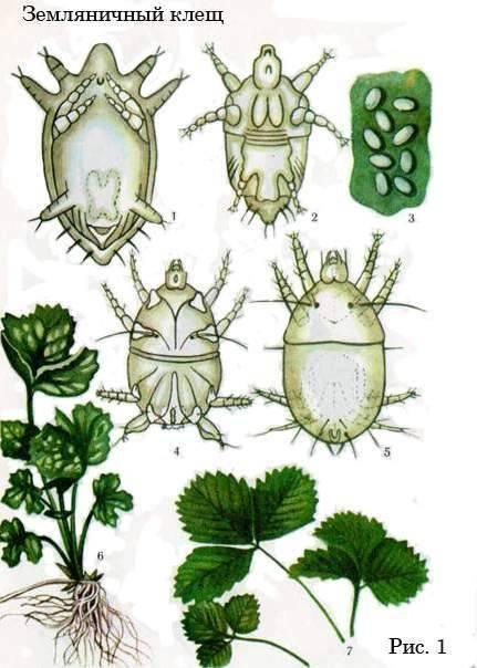 Чем и как обработать клубнику от болезней и вредителей весной