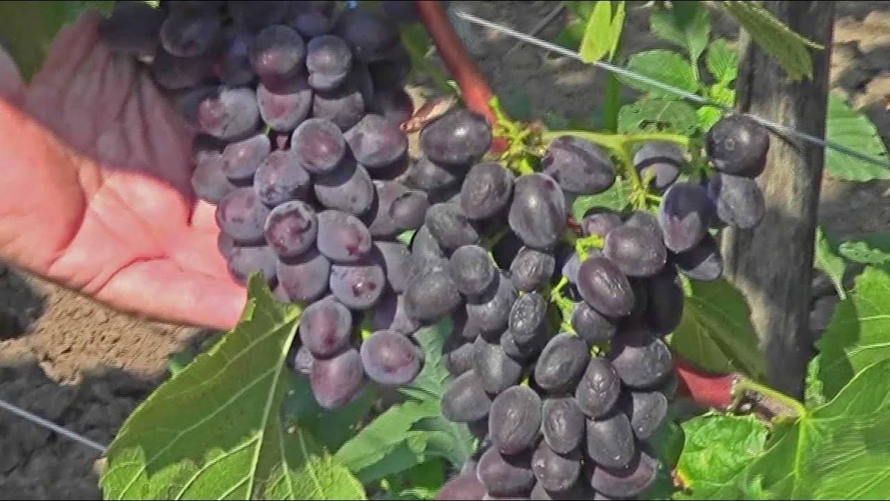 Виноград кишмиш юпитер — ягоды грибы