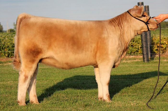 Описание волосатых пород коров