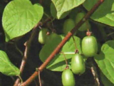 Самые популярные сорта и виды актинидии