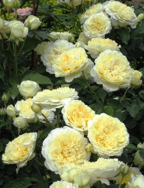 Роза пилигрим фото и описание отзывы