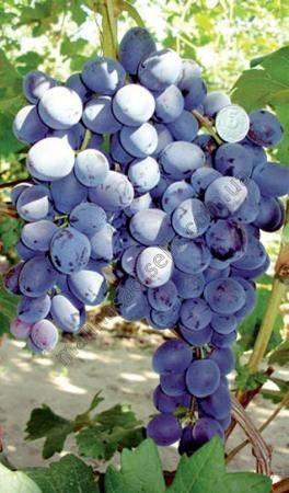 Виноград сорта «страшенский»: описание и фото