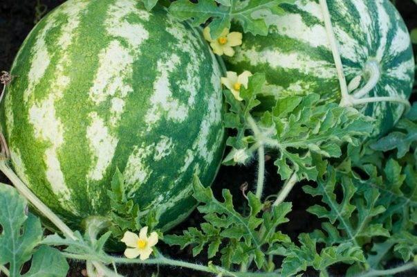 Выращивание арбузов в подмосковье: пошаговые инструкции для теплицы и открытого грунта