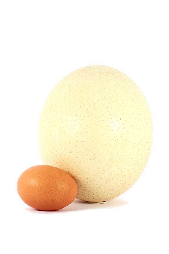 О страусиных яйцах: сколько весит и как часто страус может нестись
