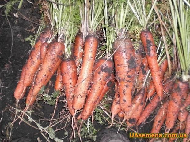 """Морковь """"королева осени"""": описание и характеристика, достоинства и минусы, отличия от других сортов, выращивание, болезни и вредители, сбор урожая"""