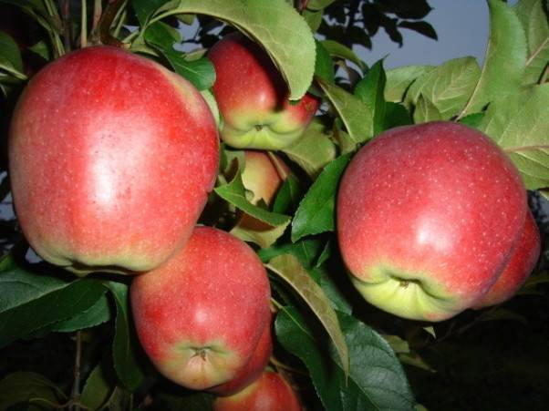 Все о яблоне сорта лигол