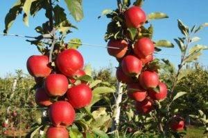 Гала (яблоко) - gala (apple) - qwe.wiki