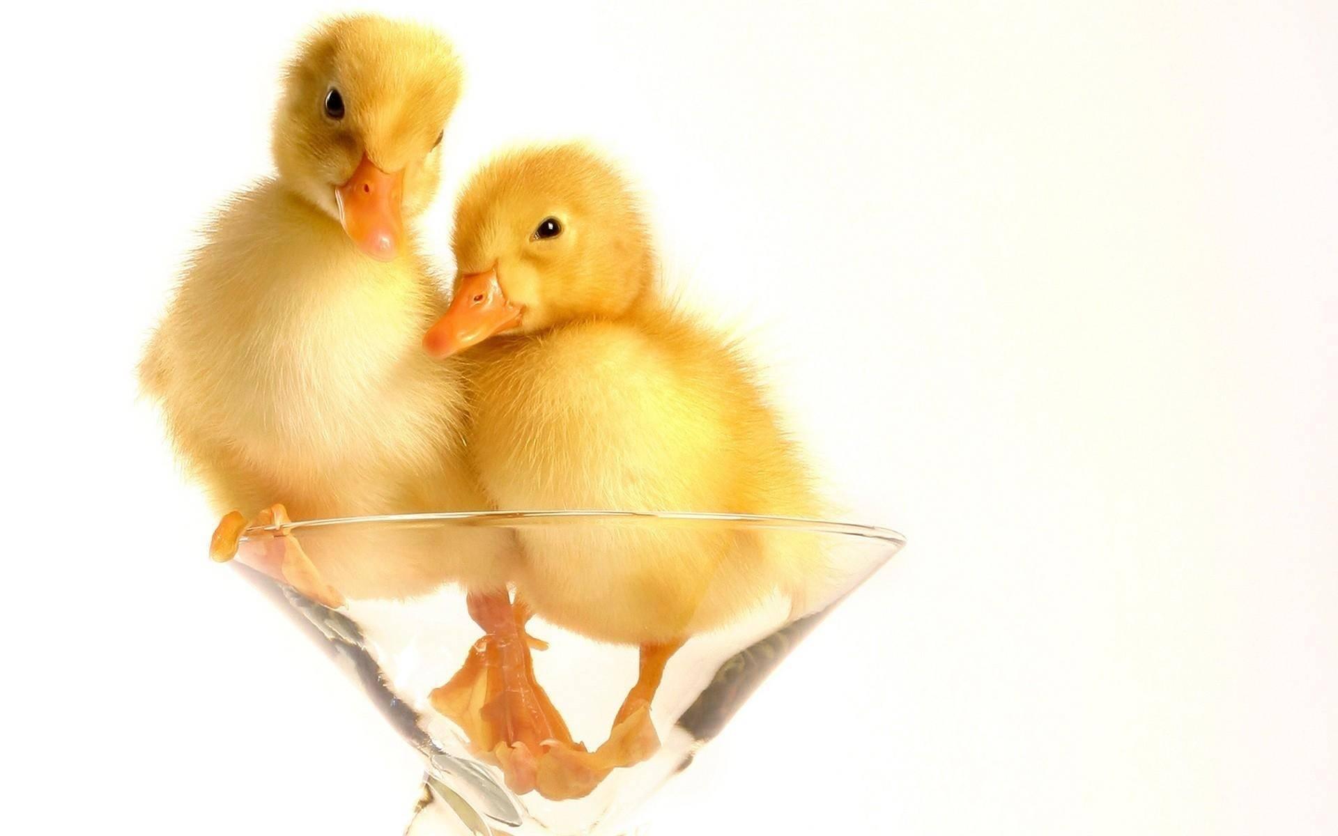 Развитие цыпленка в яйце по дням: сроки и этапы формирования зародыша