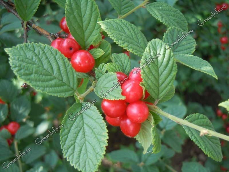 Выращивание вишни в сибири: посадка и уход
