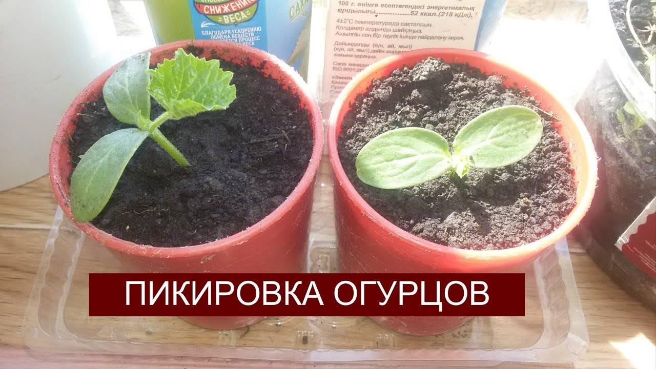 Помидоры и огурцы – в одной теплице: как сажать рассаду и поливать. можно ли сажать в теплицу огурцы и помидоры вместе
