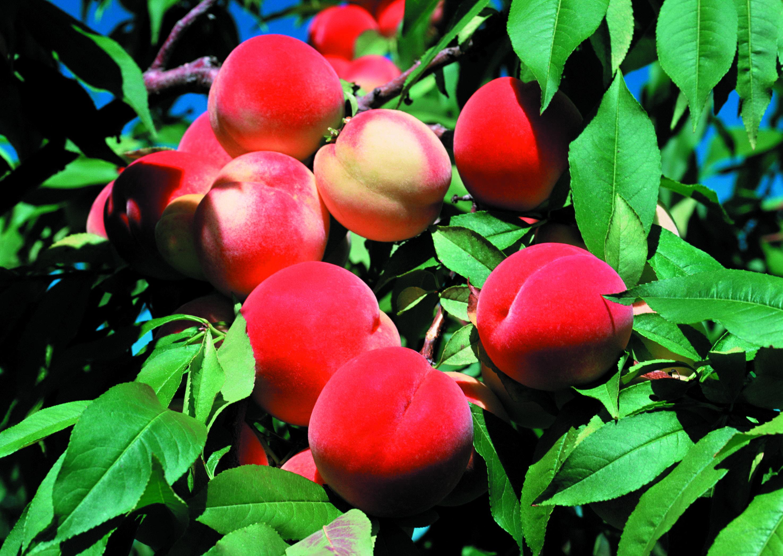 Вегетационный период у яблонь