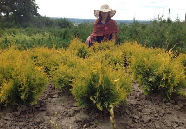 О сортах декоративной туи: описание, посадка и выращивание, как ухаживать