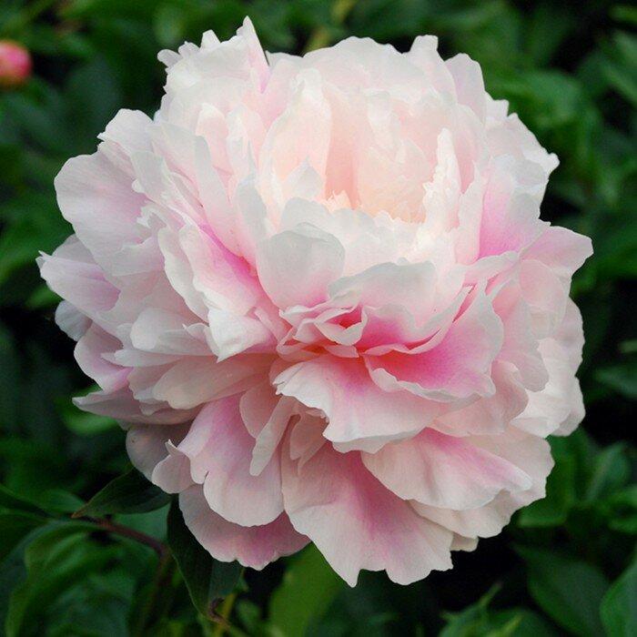 5 секретов пышного цветения пиона от специалиста