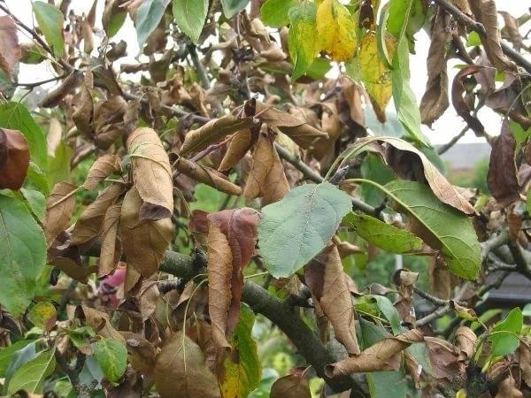 У яблони появились светло-зеленые листья – руководство по решению проблемы