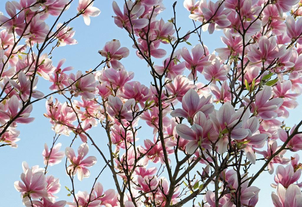 Магнолия цилиндрическая: где растет дерево, его применение и фото цветов магнолии