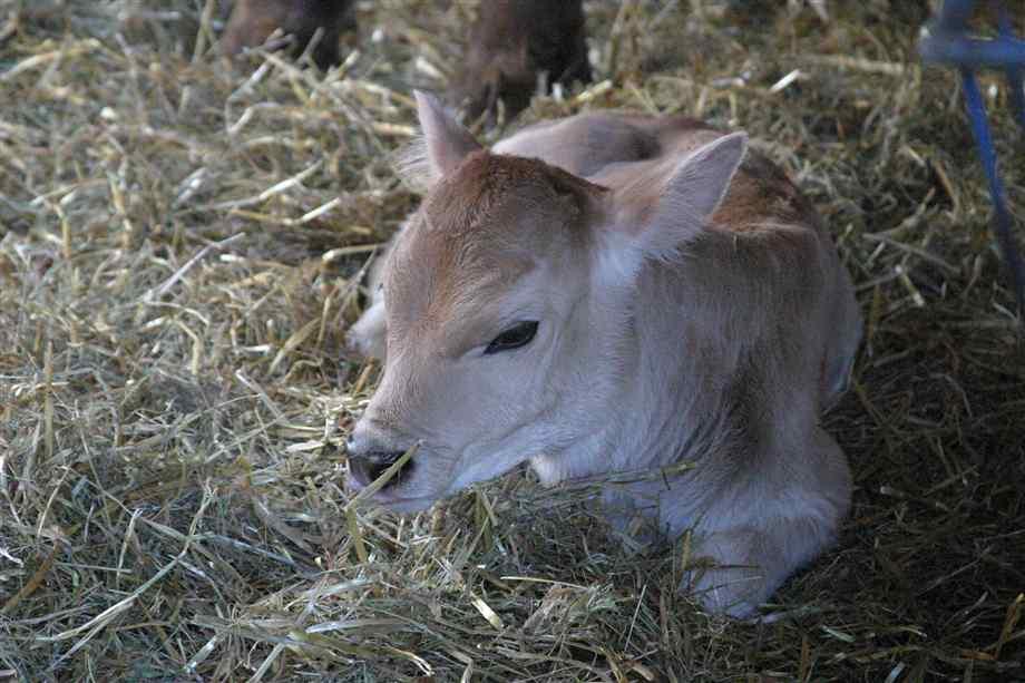 Крупный рогатый скот кашель