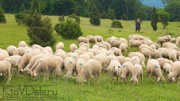 Разведение овец в домашних условиях для начинающих -подробная информация!