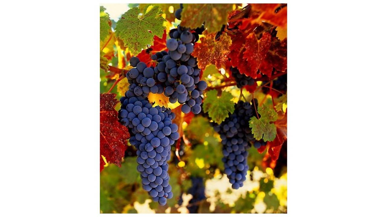 Описание и особенности винограда сорта - амурский: целебные свойства, посадка, уход, обзор отзывов - общая информация - 2020